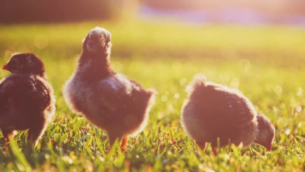 Little baby chickens on a green grass