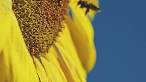 včela pracovat na slunečnice