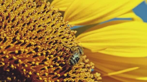 ape lavorando su girasole