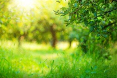 Apple garden green sunny background. Summer and autumn sesonal. stock vector