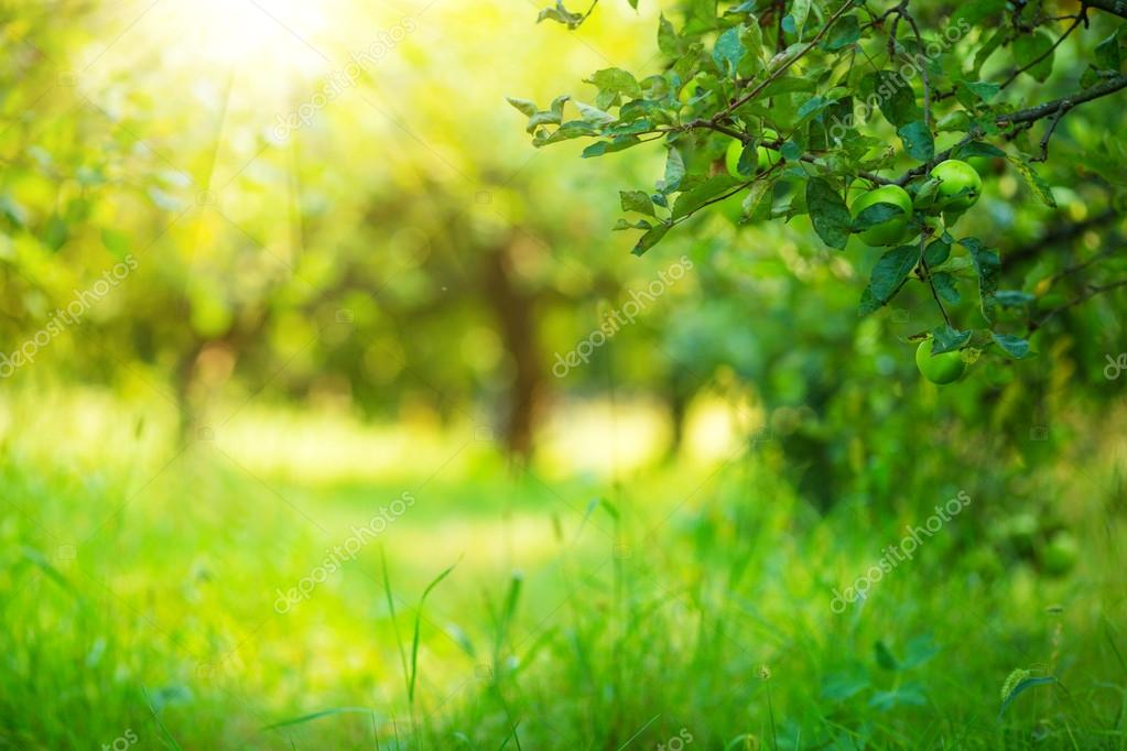 Apple garden green sunny background.