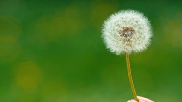 Pampeliška semena odletět