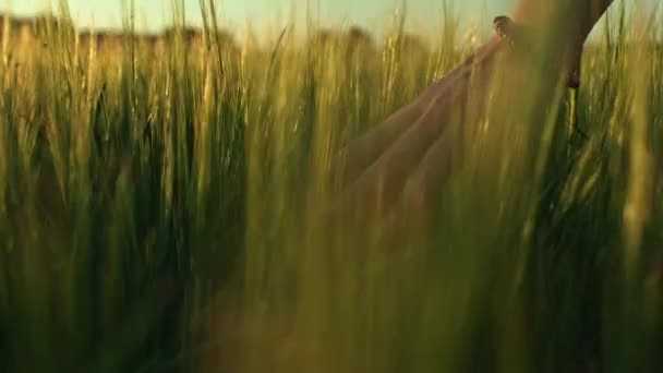 hand running through wheat field