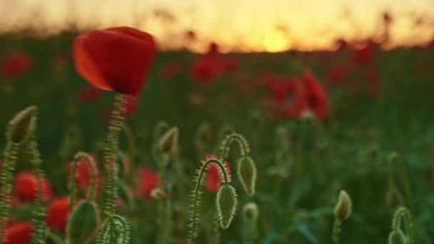Sunset on poppies field