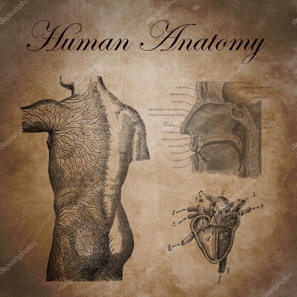 menschliche Anatomie, Studie des Geräts nervös — Stockfoto ...