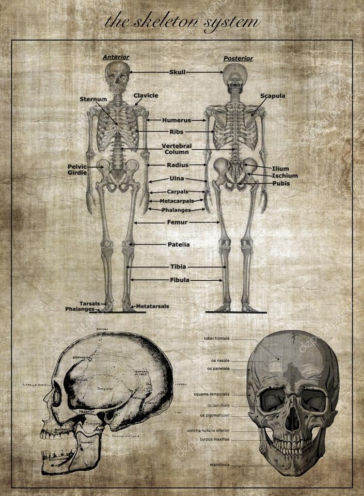 Das menschliche Skelett-System, Teil des Körpers — Stockfoto ...