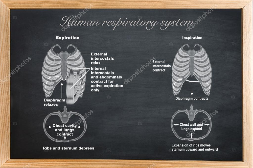 tablero didáctico de anatomía del sistema respiratorio humano — Foto ...