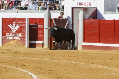 Capture of the figure of a brave bull in a bullfight going out o