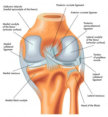 Posterior view of the right knee in extension