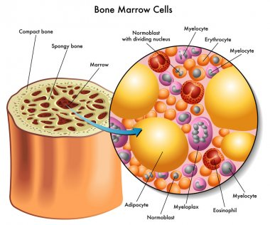 Bone marrow cells.
