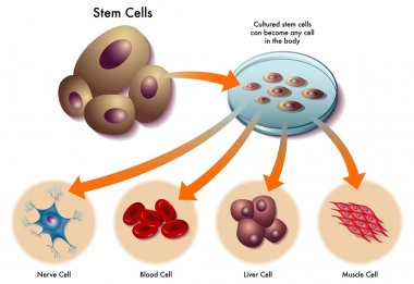 Stem cells stock vector