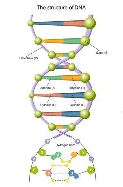Detailed human DNA