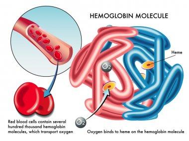 Structure of human hemoglobin molecule