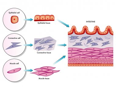 Anatomy of the wall of the small intestine villi