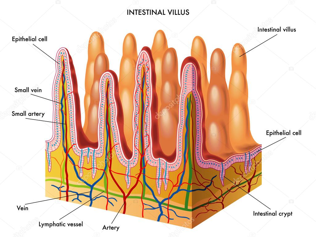 Structure Of Villi And Microvilli Stock Vector Rob3000 65093091