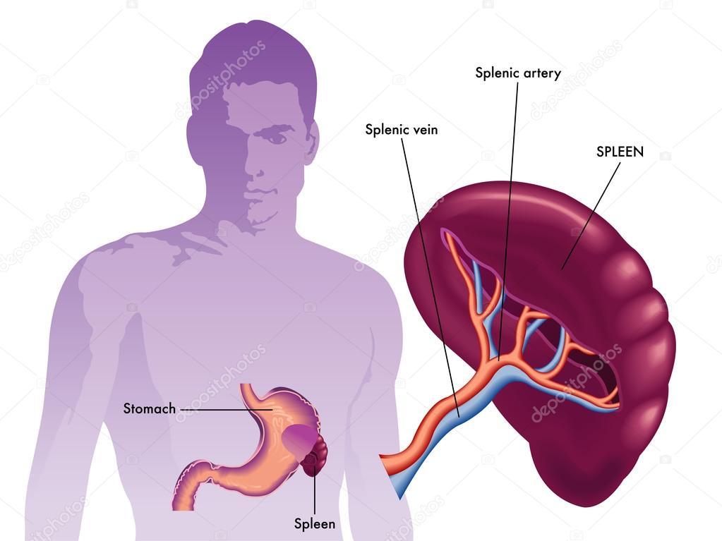 Spleen Labeled Diagram — Stock Vector © rob3000 #65093215