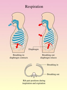 Graphical representation of the breathing.