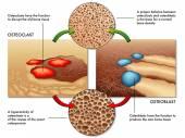 Osteoblast and osteoclast scheme