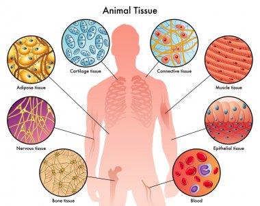 Animal tissues schemсe