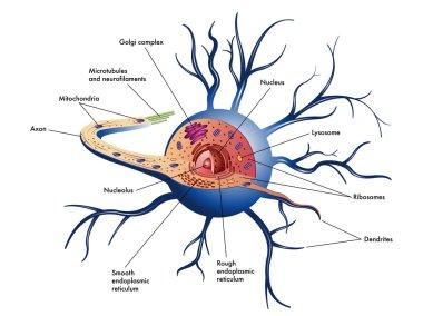 Nerve cell scheme