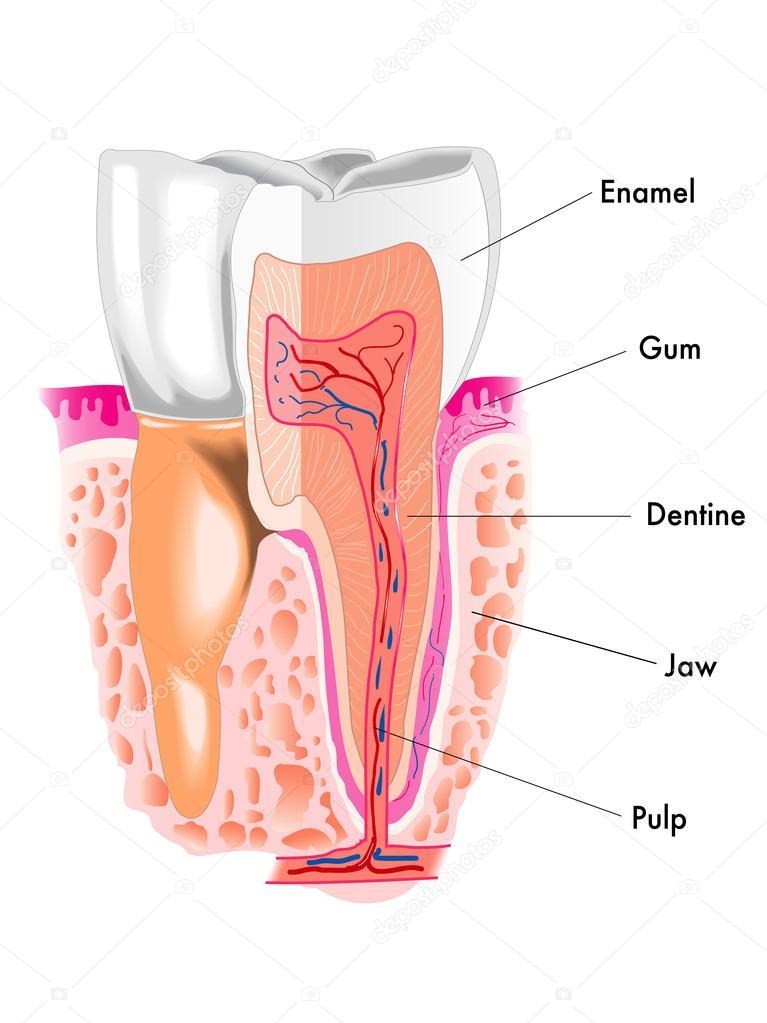 Anatomie der menschlichen Zahn — Stockvektor © rob3000 #76383523
