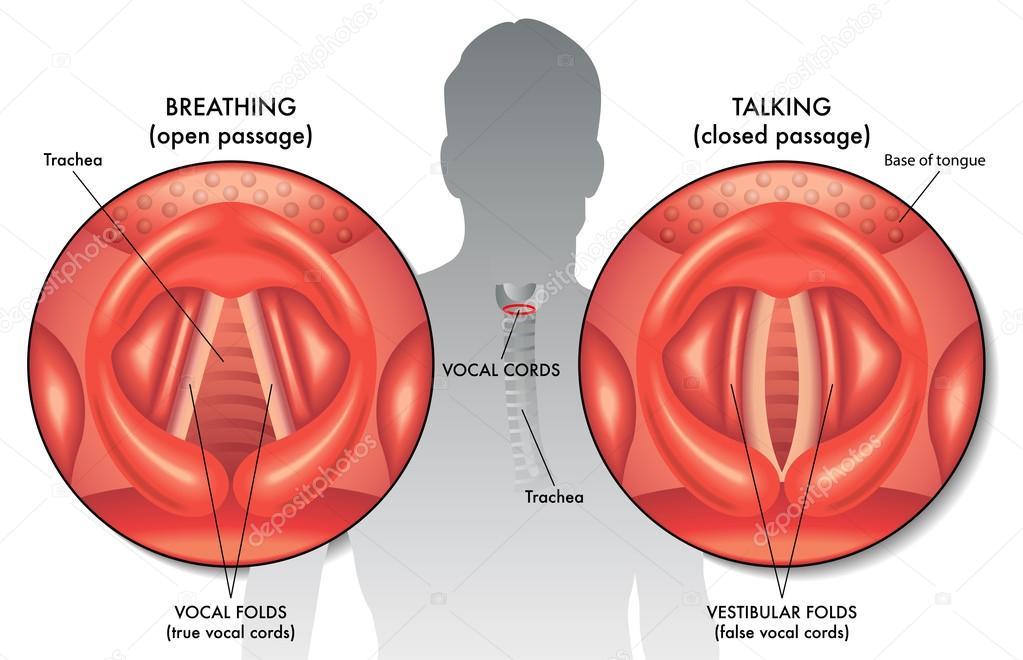 Ilustración de cuerda vocal — Vector de stock © rob3000 #78599114