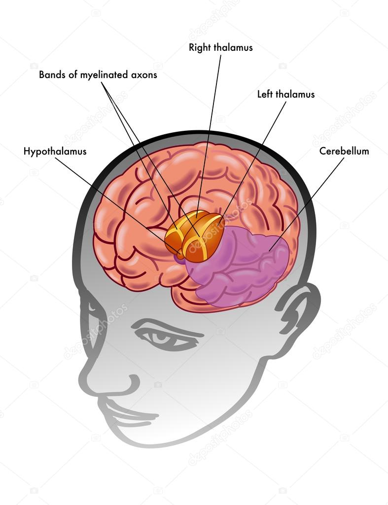 Thalamus diagram head introduction to electrical wiring diagrams thalamus and hypothalamus and their position inside the head stock rh depositphotos com temporal lobe diagram ccuart Gallery