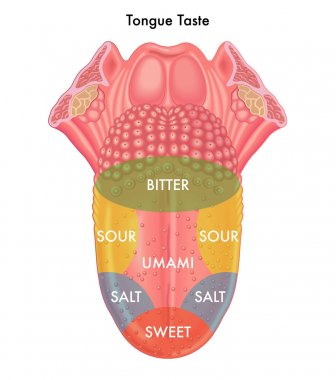 human tongue taste