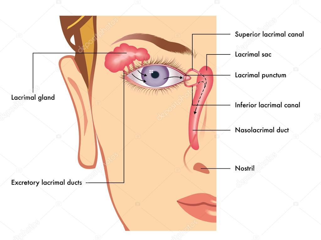 aparato lacrimal humana — Vector de stock © rob3000 #95368334