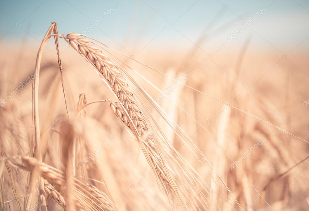 close up on wheat ears in a field