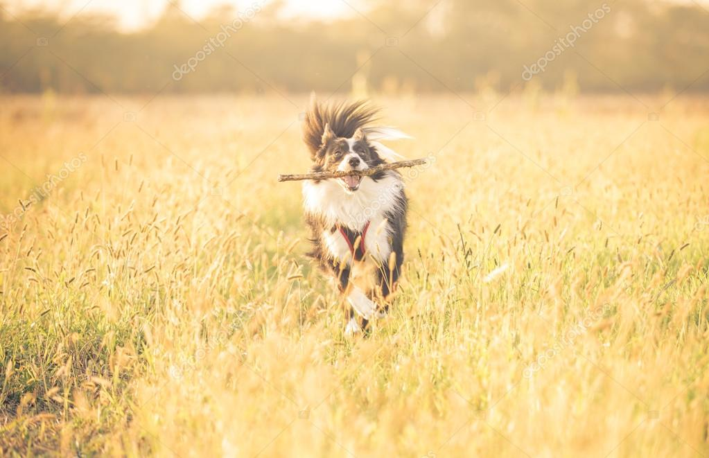 Beautiful border collie running in the grass