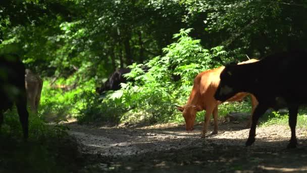 Im Wald grasen viele braune, blasse und gefleckte Kühe. Sie sind auf der Suche nach Nahrung. Überqueren Sie die Straße. Lästige Insekten fliegen umher und stören Nutztiere. Nasse Straße nach Regen im Wald.