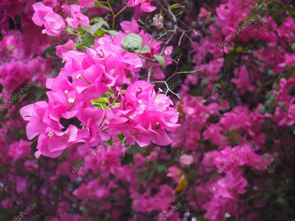 fleur de bougainvillier rose — photographie p.kanchana © #105208428