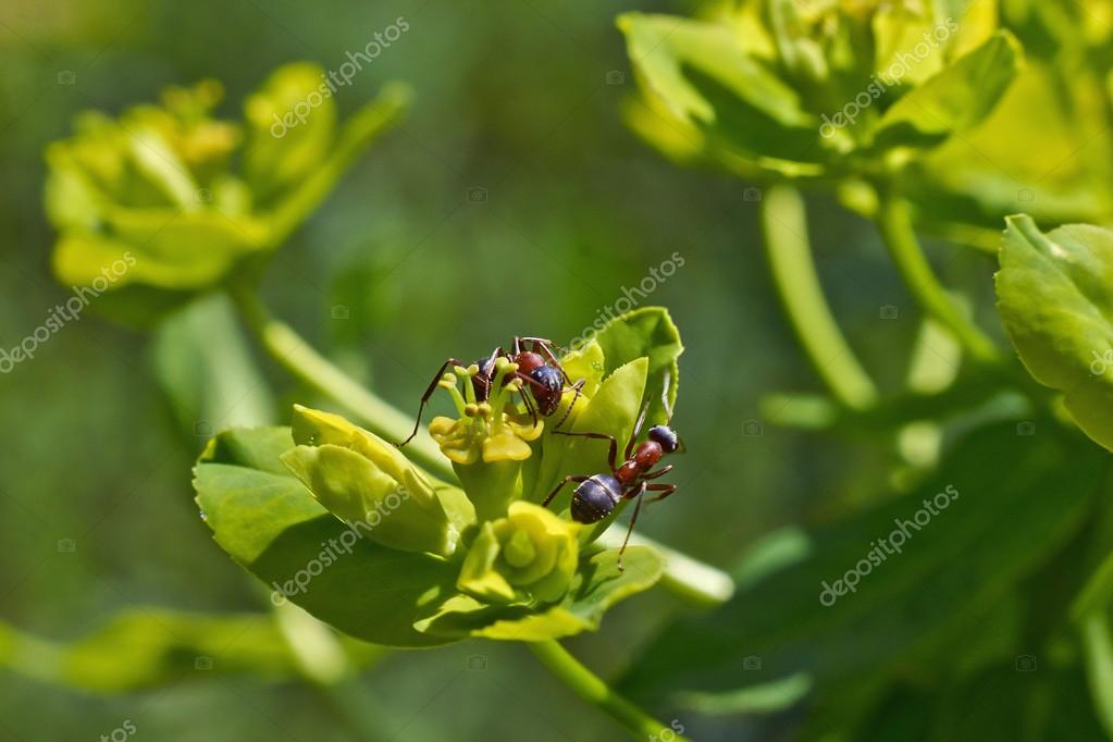 Ants eat the sweet pollen of   plants.