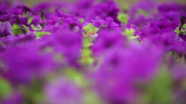 Purple flowers, dynamic change of focus