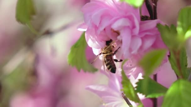 Bee are pollinating apricot flowers in the springtime. Close up. Slow motion