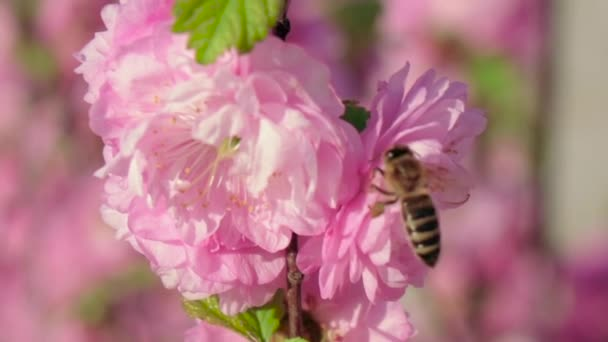 Honey bee collecting pollen from pink pear blossoming flowers. Spring season. Close up. Slow motion
