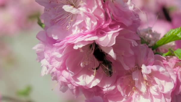 Blossoming tree. Bees. Close up. Slow motion