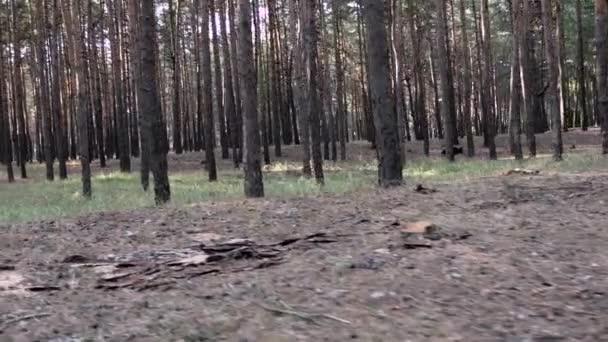 erdőben, fenyőfák