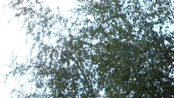 Zelené listy v lese. Bříza