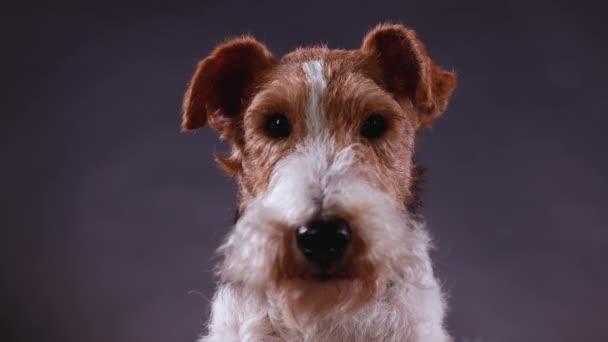 Portrét skvrnitého liščího teriéra ve studiu na šedém černém gradientu, pohled zepředu. Zavřete psí tlamu. Zvíře se nejdřív podívá do kamery a pak začne otáčet hlavou..
