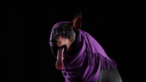 Detailní studiový portrét veselého dobrmana Pinschera v šeříkovém šátku s jedním uchem vyčnívajícím zpod něj. Pes široce zívne a vystrčí růžový jazyk. Izolováno na černém pozadí.