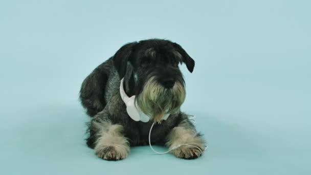 Přední pohled na mittelschnauzer ležící s bílými sluchátky kolem krku ve studiu na namodralém pozadí. Pes skloní hlavu na podlahu a prudce ji vyhodí. Zpomal. Zavřít.
