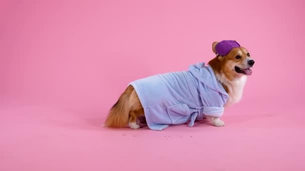 Funny Welsh Corgi Pembroke steht in vollem Wuchs im Atelier auf rosa Hintergrund. Das Haustier trägt ein blaues Gewand und eine Schlafmaske auf den Ohren. Das Tier ist bereit zur Ruhe. Zeitlupe. Nahaufnahme.