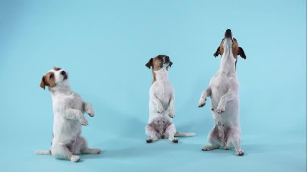Tři psi plemene Jack Russell Terrier předvádějí ve studiu příkaz na namodralém pozadí. Jeden pes si stoupne na zadní nohy, dva si na ně sednou a pak všichni odejdou. Zpomal. Zavřít.