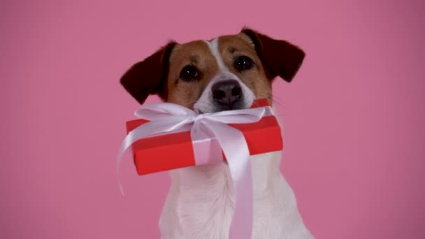 A portrait of Jack Russell holding a gift box in his teeth. Pet in the studio on a pink background. Holiday card, a gift on the birthday, March 8. Slow motion. Close up.