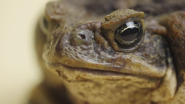 Makroporträt Cane Toad, Bufo marinus, sitzend auf beigem Hintergrund im Studio. Rhinella marina oder Giftkröte ja, Streichelzoo ja. Schnauze eines großen warzigen braunen Amphibienfroschs. Nahaufnahme.