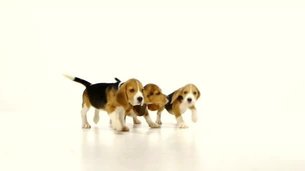 Cute Beagle Puppys over white background. close up,  Slow motion