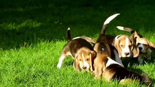 cute Beagle dogs running across the grass summer day. Slow motion