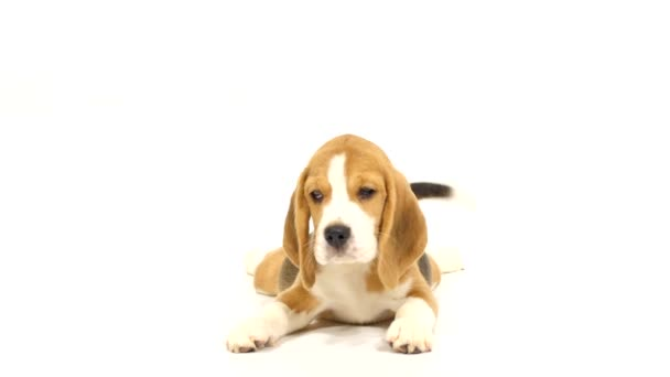 Cute Beagle Puppy over white background. close up